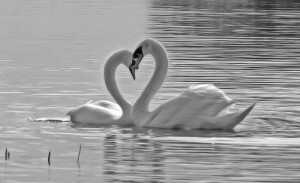 The appearance of the two swans just formed a heart shape, giving the photo another meaning. Photo by {link: http: //www.flickr.com/photos/darragh/147524994/} Darragh Sherwin {/ link}
