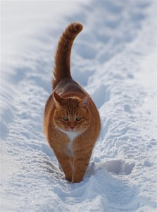 The white in the snow highlights the yellow cat well. Photo by {link: http: //www.flickr.com/photos/jettajet/3234289183/} ~ Jetta Girl ~ {link}